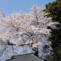 31.4.18 桜が満開です