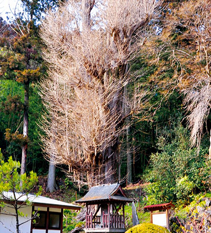 東陽寺のイチョウ